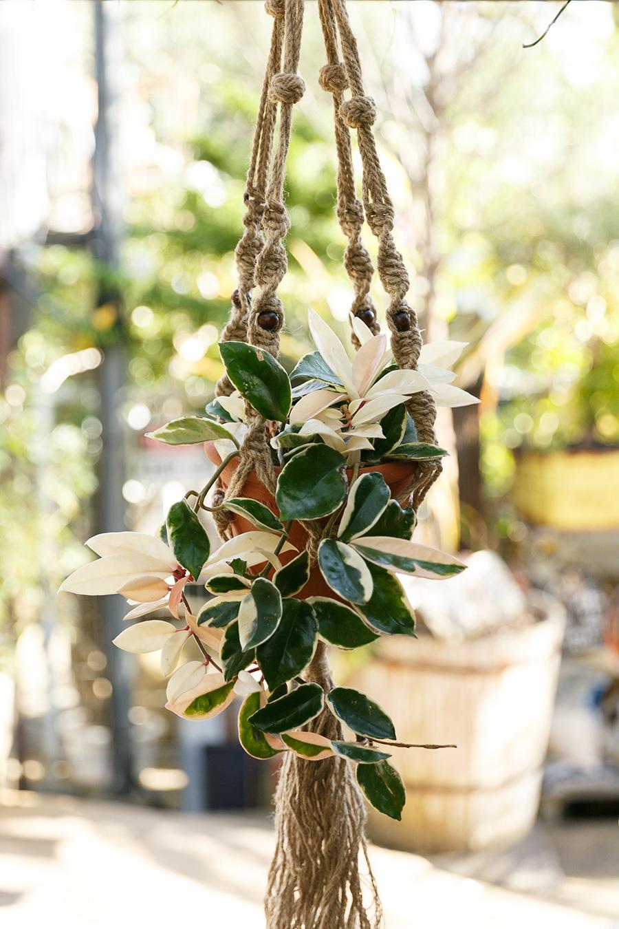 白い葉が交じり肉厚の葉が存在感のあるホヤのマクラメのハンギング。
