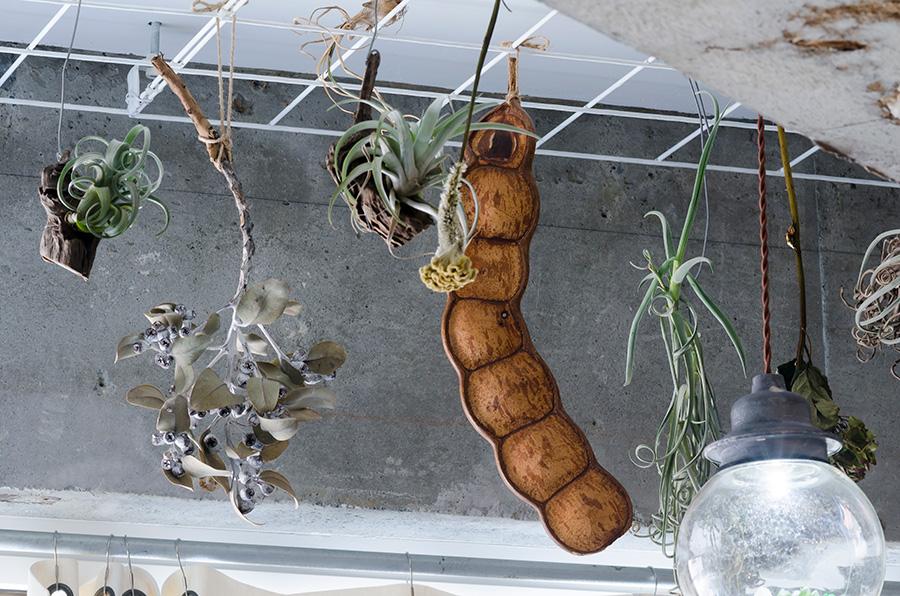常緑樹林帯に生育する巨大な豆「モダマ」はタイのフリーマーケットにて200円で購入した。