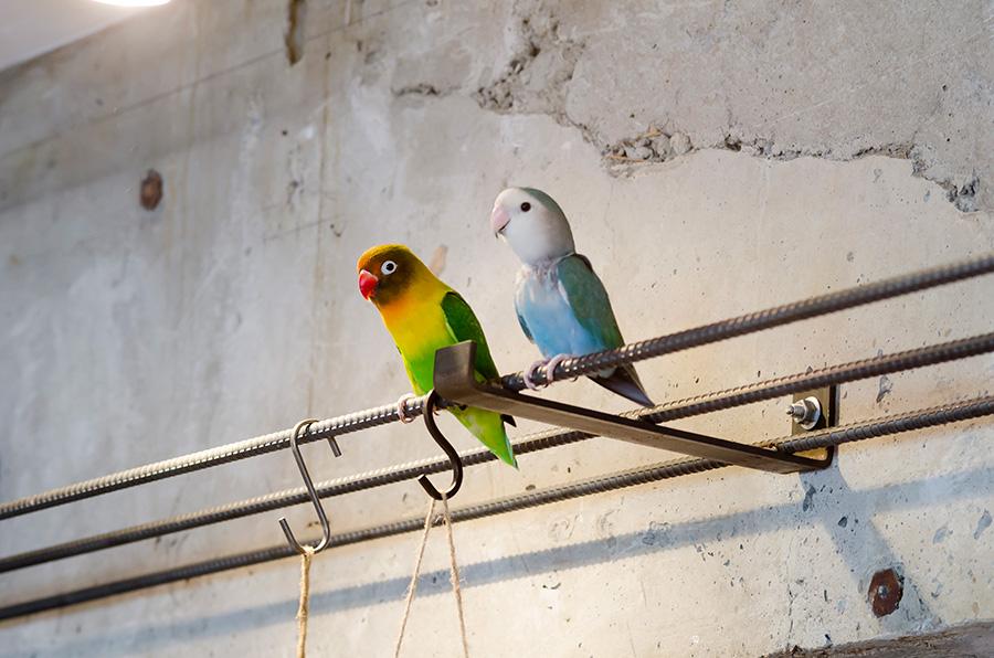 鉄筋で羽を休めるボタンインコの「らっく(黄色)」とコザクラインコの「らむね(青)」。