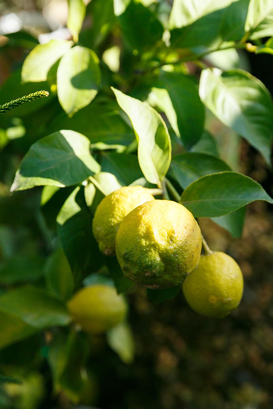 「レモンは防虫もしなければならないですし、病気を防ぐために年に一度の消毒も必要ですが、実のなる姿はとても素敵なのでオススメです」