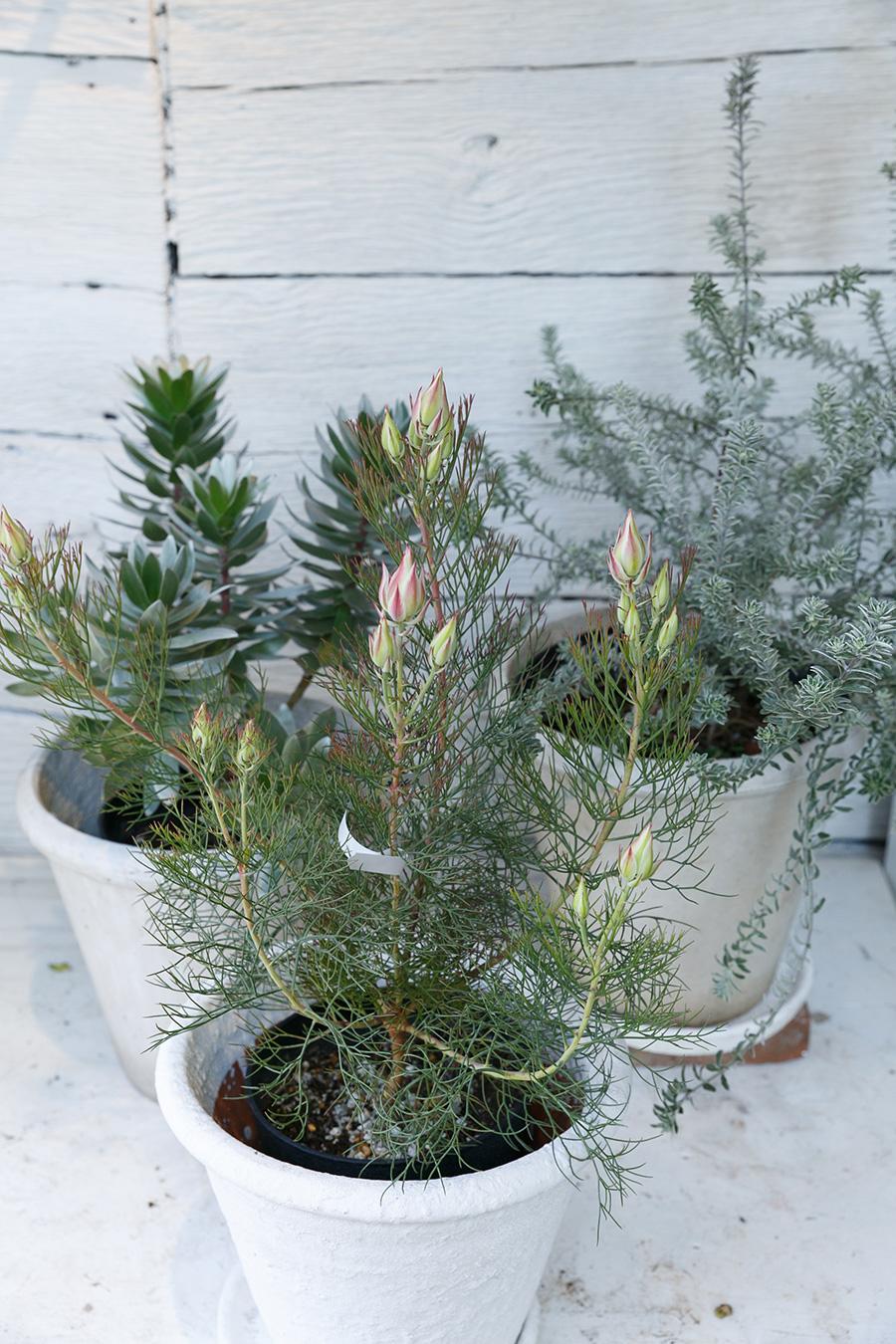 手前が花芽をつけたセルリア。左がクラッカージャック、プロテアの仲間の常緑の低木。右奥がリトルスモーキー。
