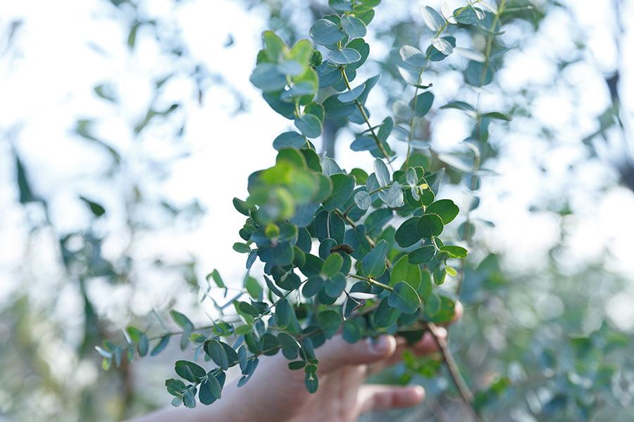 オーストラリアの代表品種といえばユーカリ。丸葉がかわいい。剪定した枝をそのままドライフラワーにしたり、お風呂に入れて香りを楽しんでも。