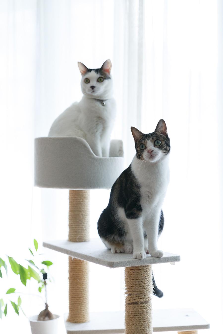 自宅で一緒に暮らすナットくん(左)とアンちゃん。陽子さんのご主人も大の猫好きだそう。
