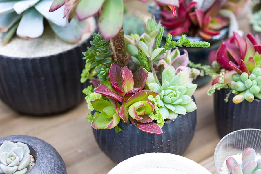 エケベリアなどベンケイソウ科の寄せ植え。花びらのような形状の葉が面白い。器は陶芸家・飯高幸作さんのもの。