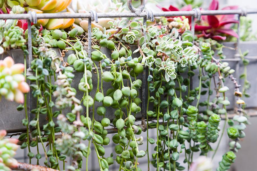 ハンギングで楽しみたい枝垂れる品種のグリーンネックレス。