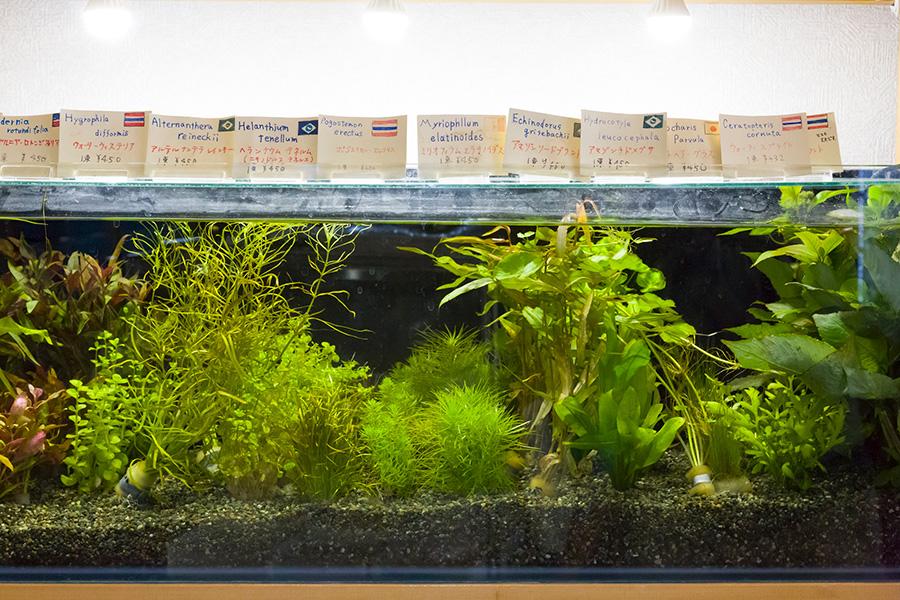 東南アジア産や日本産など、様々な種類がある水草。植物によって処理の仕方は違うので、購入時に確認したい。