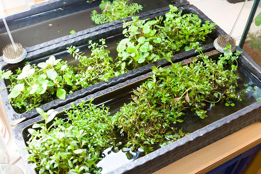 水草は一株¥450〜。それぞれ育て方の特徴を押さえたい。