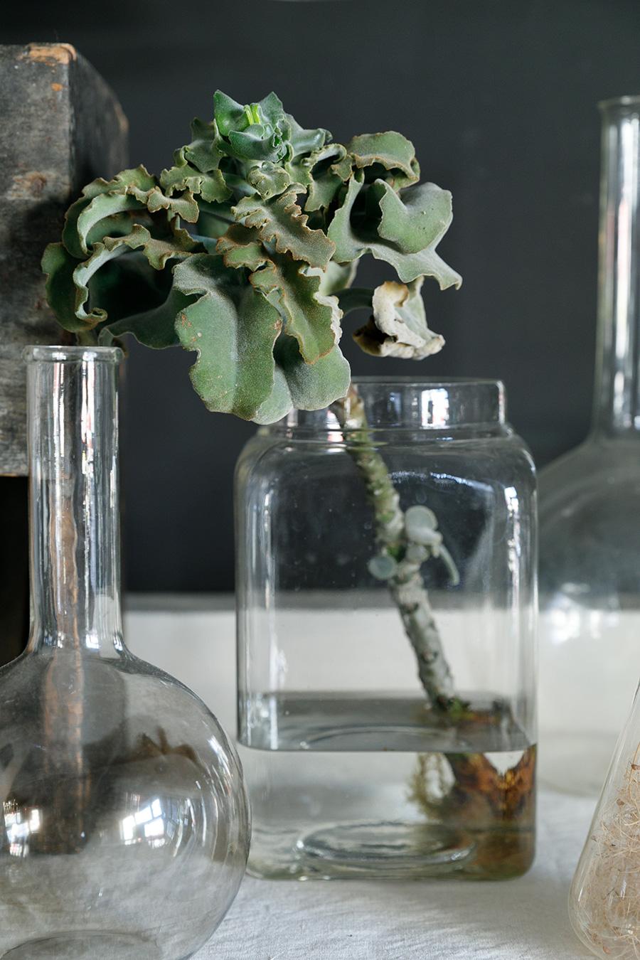 葉が縮れている種類のカランコエ・ベハレンシスが元気よく成長中。新芽が茎からも出ている。