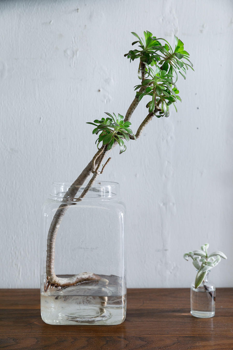 ベンケイソウ科の多肉植物、黒法師は、茎の丈夫にヒマワリのように葉をつける姿がユニーク。これも水耕栽培しやすい多肉植物。右はカランコエ。