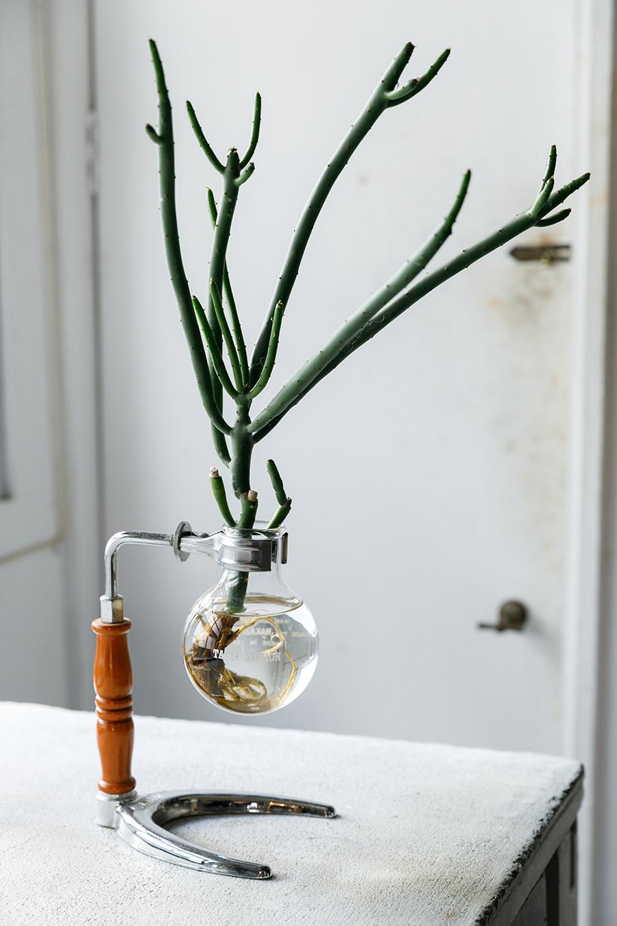棒状の茎を分岐させながら成長する多肉植物、ミルクブッシュの水耕栽培。器は古いコーヒーサイフォンを利用。