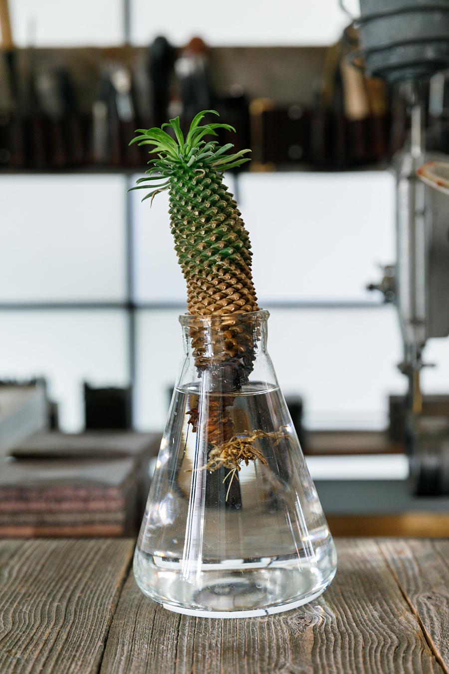 見た目がパイナップルにそっくりな、ユーフォルビア・パイナップルコーン。サボテンのように見えるけれど、これも多肉植物だ。茎の下のほうが水に向かって成長している。