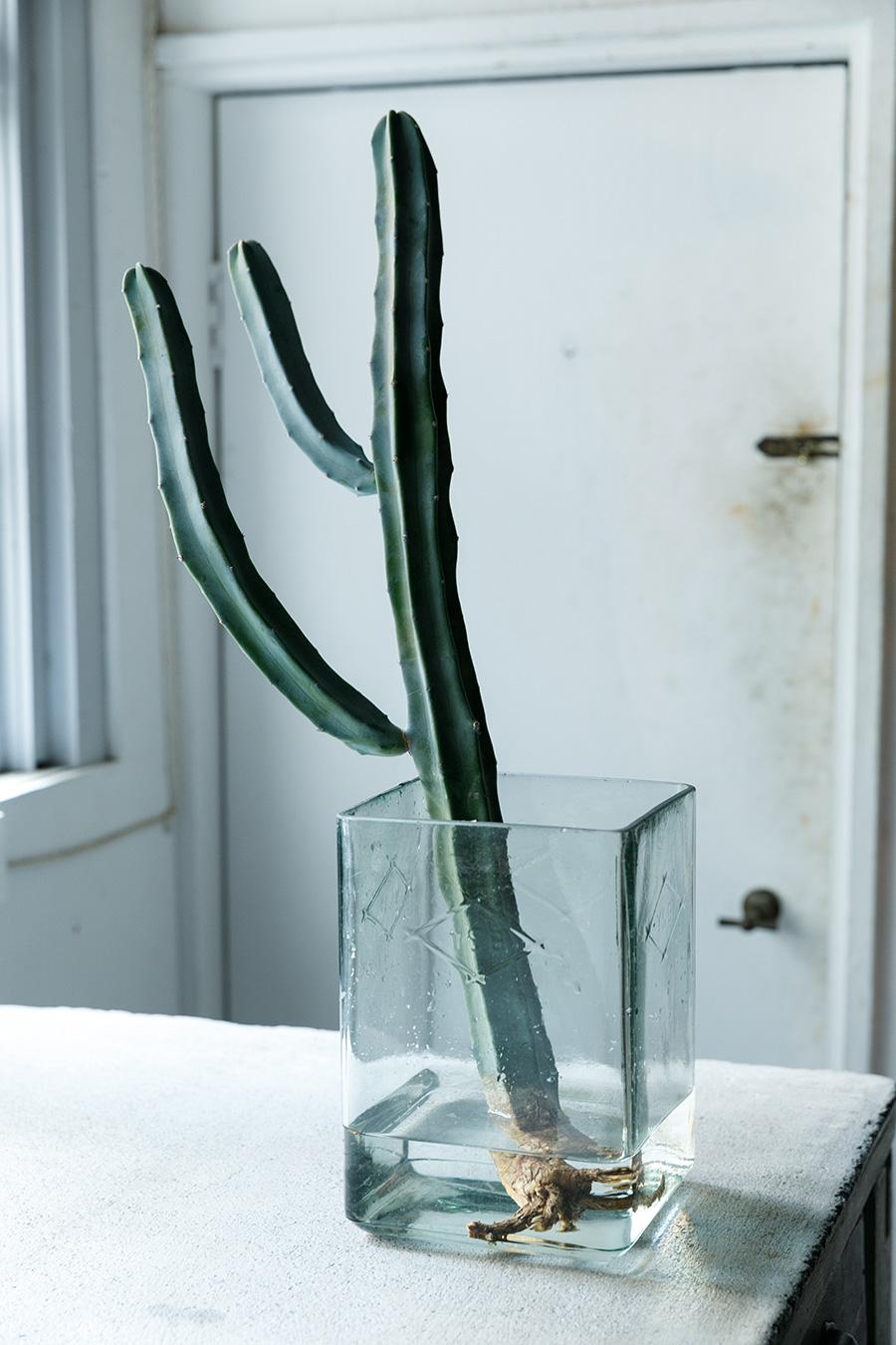 柱サボテンの水耕栽培はインパクト大。丈夫な柱サボテンは水耕栽培に向いている種類でもある。茎まで水に浸からないように水位を調節してあげよう。