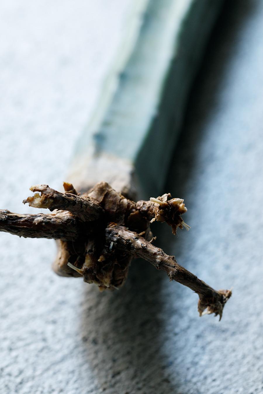 ちなみにこちらが柱サボテンの根の部分。新しい白い根が出始めたのが見えるだろうか。この状態になってから、水に挿す。