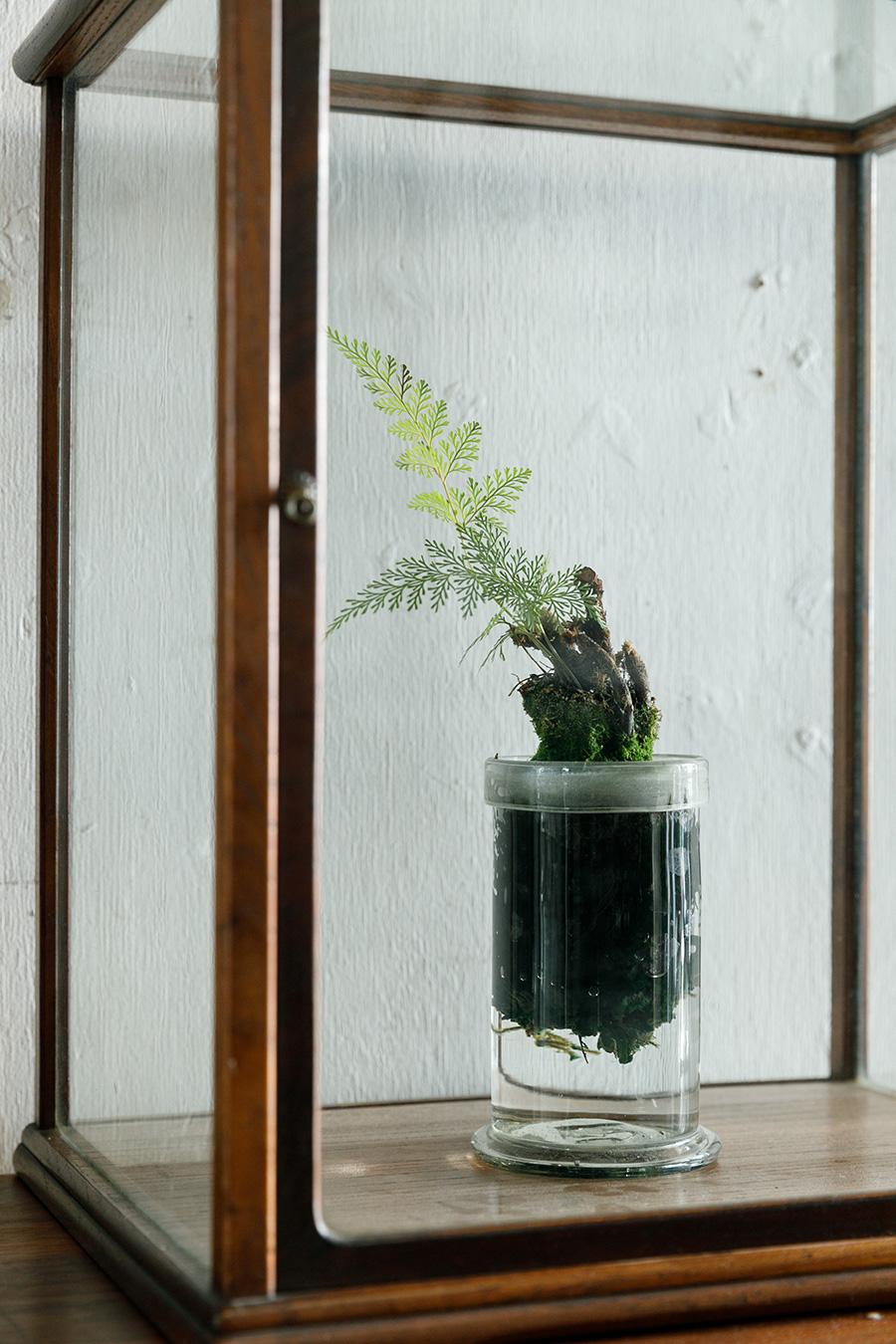 西洋シノブの水耕栽培。繊細な葉の美しさを楽しみたい。和を感じさせる植物なので、ディスプレイの工夫のしがいもある。