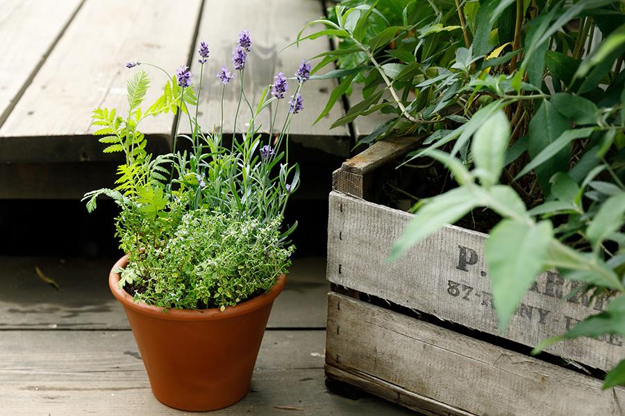 虫除け効果のある植物の寄せ植え。ベランダから虫に退散いただくには、こんな寄せ植えを作って飾るのもひとつのテだ。今回はこの寄せ植えの作り方を教えていただいた。