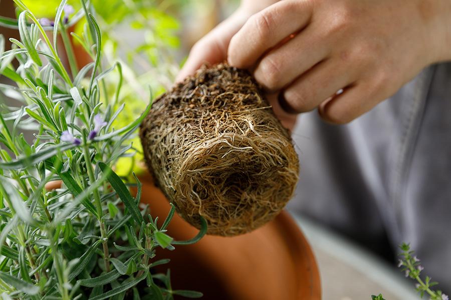 鉢から外した時、写真のように根がぎっしりと詰まっている状態だったら、そのまま植えないほうがよい。
