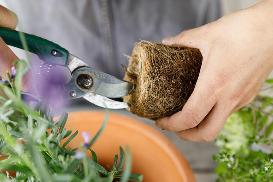 根に十字に切り込みを入れ、軽くほぐして、新しい根が伸びる手助けをしてやる。