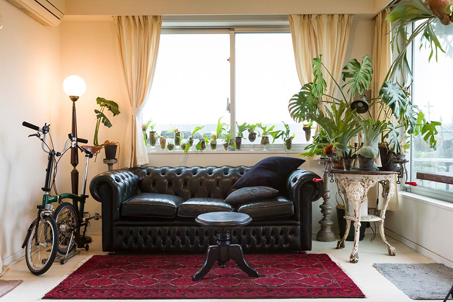 イギリス製チェスターフィールドのソファーは、緑から黒に塗り替えた。モンステラなどのグリーンがアンティークに映える。