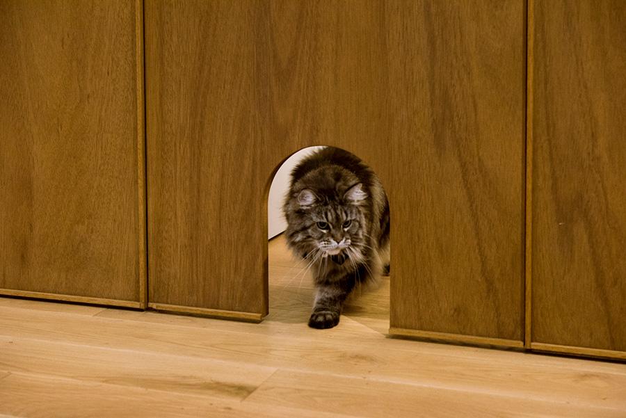 """愛猫の""""花火""""は、家猫類で最も大きくなる猫種のメインクーン。"""