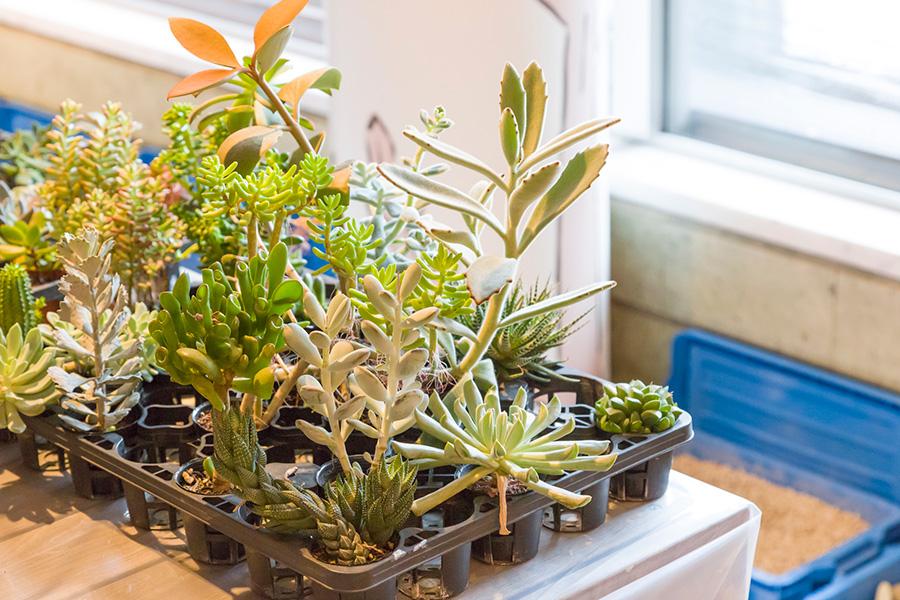 寄せ植えを待つ多肉植物たち。今回はここから3種類を選んで植え込んだ。
