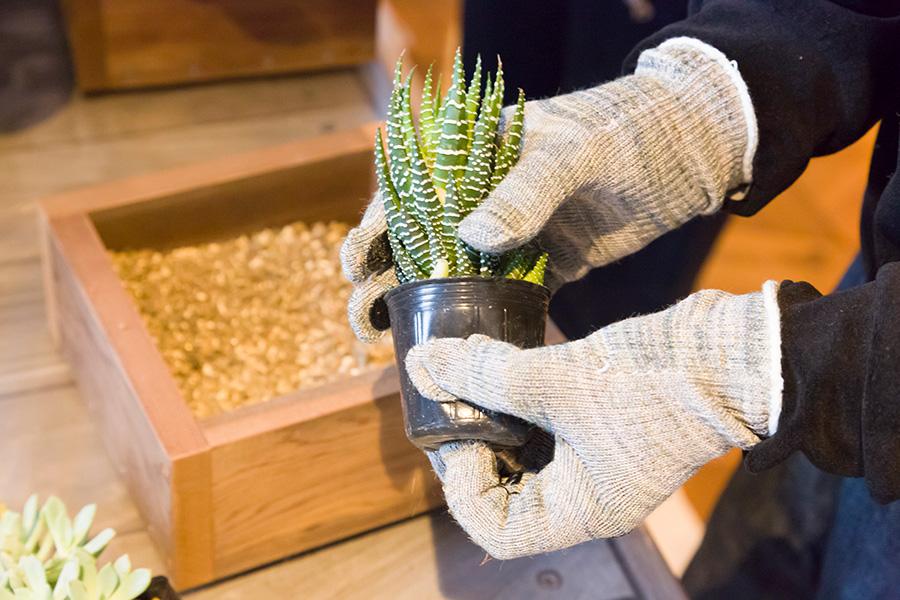 多肉植物の苗のプラスチックのポットを外し、用土を少し入れたプランターに配置して、用土を入れていく。特に根はほぐすなどの必要はない。