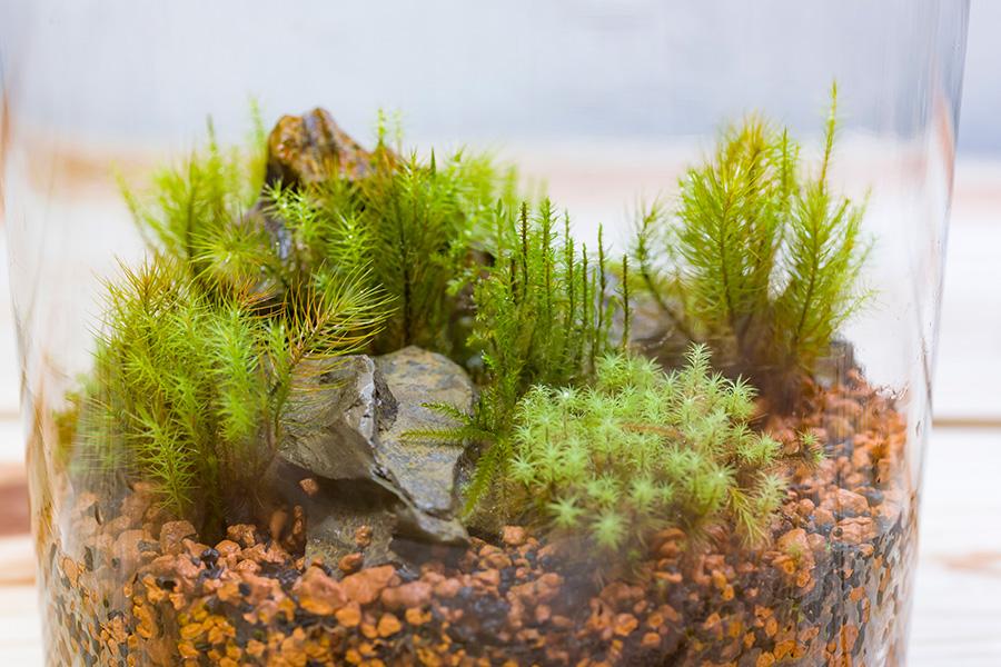 ボトルの中で盆栽感覚で苔を楽しむ。小さな苔が森の樹々のように見えてくる。1万8000種類とも言われる苔の中で、テラリウムに向いているのが下の4種類。