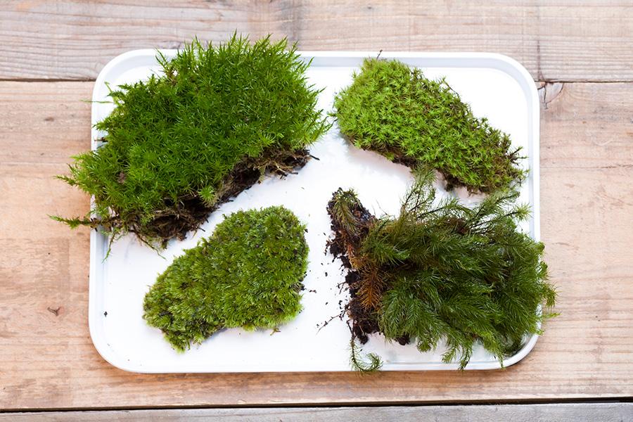 右上から時計回りに、星型の葉がかわいいタマゴケ、樹のような景観を作ることができるヒノキゴケ、グランドカバーとして盆栽の足元にも使われるホソバオキナゴケ、ボリューム感のあるシッポゴケ。