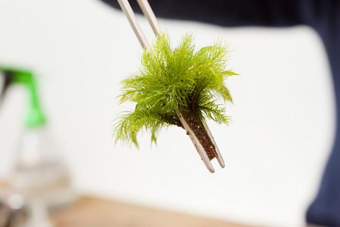まとめた苔を上からピンセットでつまむ。根よりもピンセットの先が出るように持つと土にスッと挿せる。