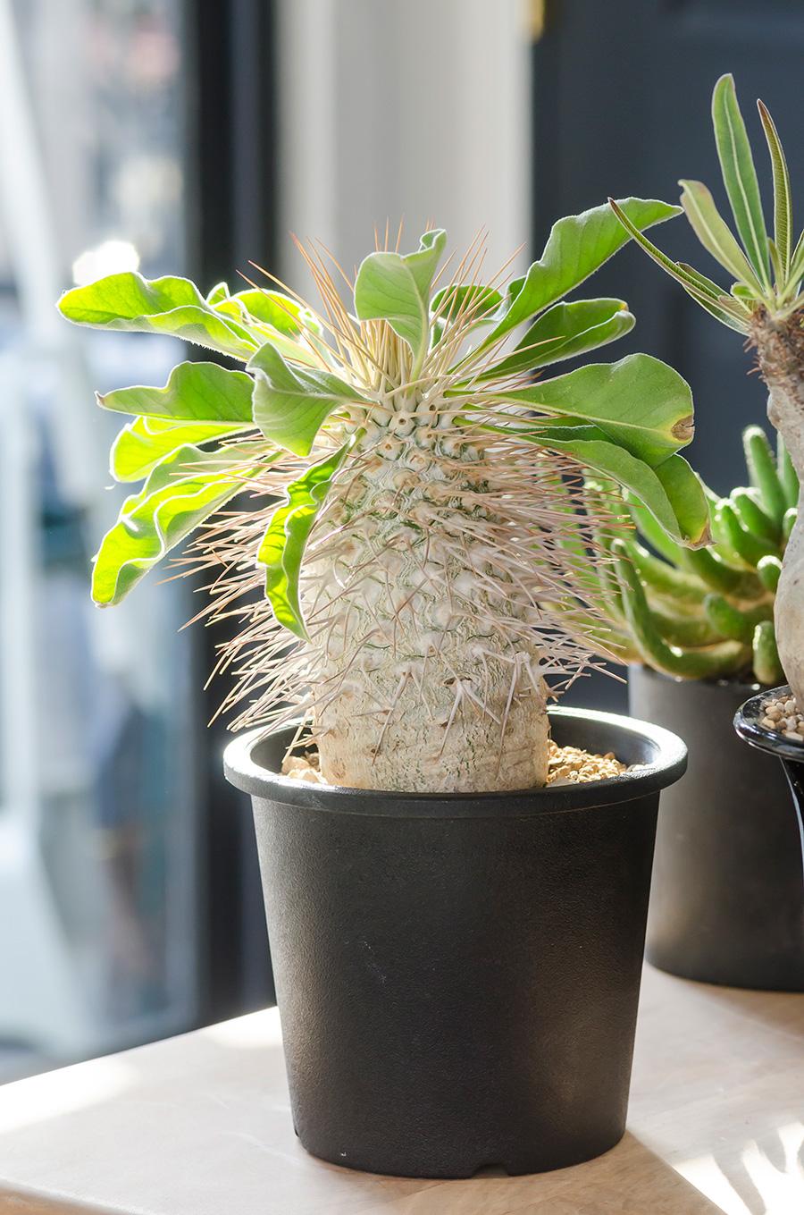 パイナップルのような見た目の「パキポディウム・ナマクアナム」。円柱状の主幹と細長いトゲのコントラストが魅力。