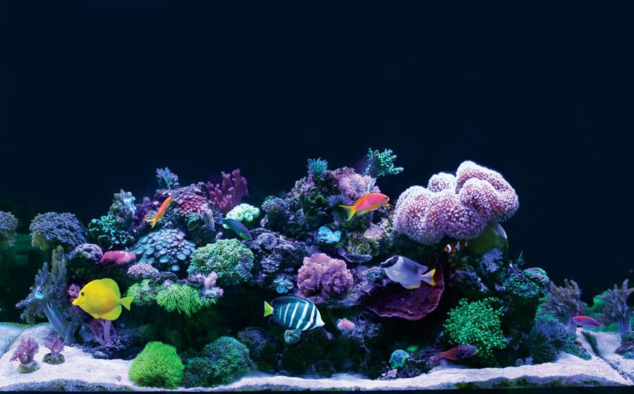 ソフトコーラル(死んでも白い骨格が残らない骨のないサンゴ)に、小型の魚を組み合わせたミックスドリーフはさほど水質にナーバスにならずに飼える。