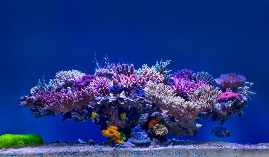 ポリプの小さいハードコーラルは飼育が最も難しいサンゴ。水の綺麗さ、照明、水流、……あらゆる飼育環境を適切に整える必要がある。