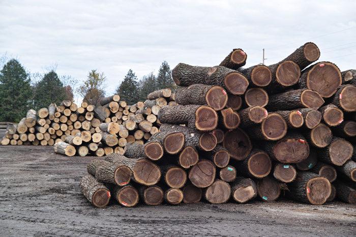 ウォールナットは北米原産のクルミ科の落葉樹。広大な土地を所有している製材所のオーナーが充分に育った樹を計画的に伐採しているのだそうだ。