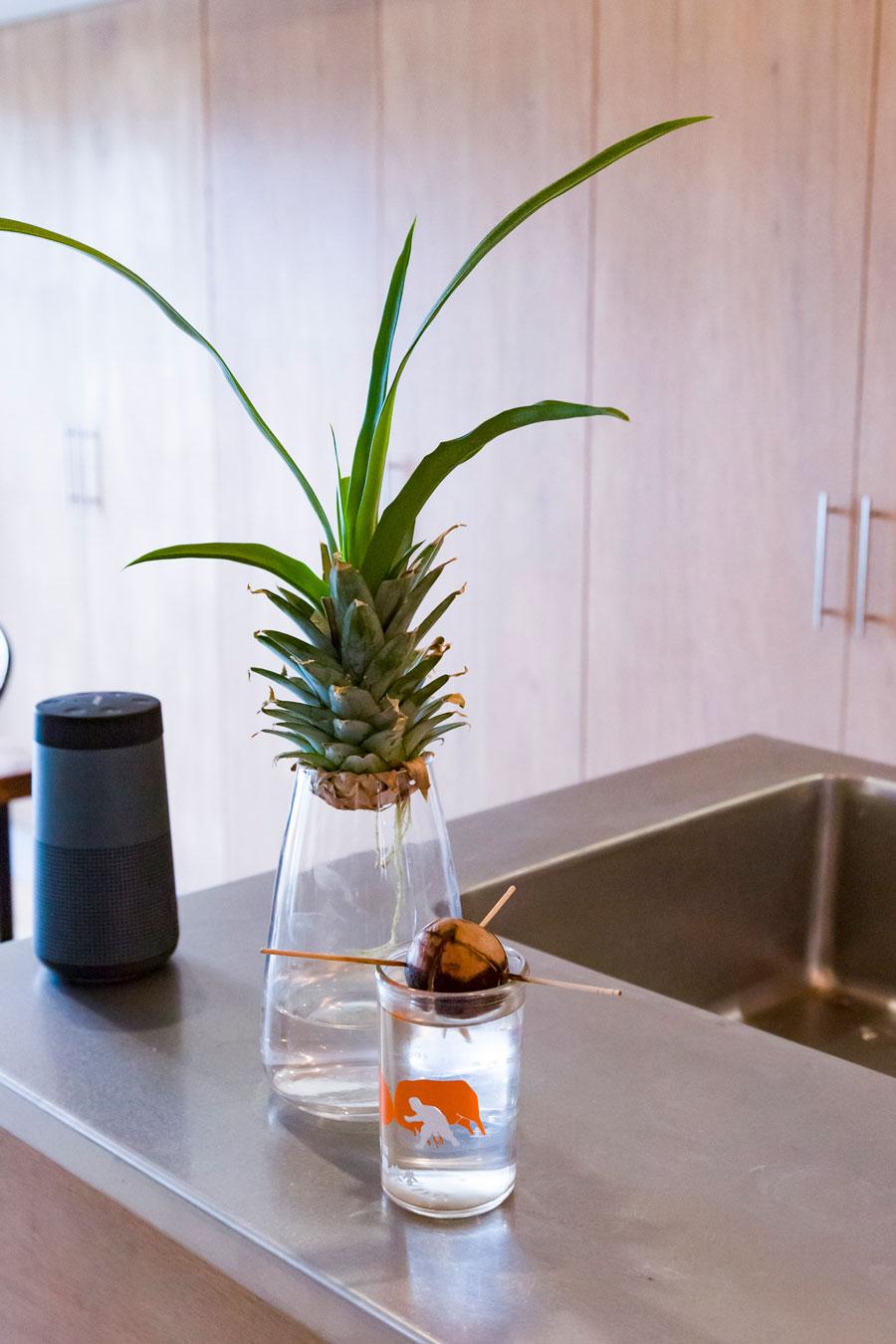 パイナップルとアボカドを水耕栽培中。