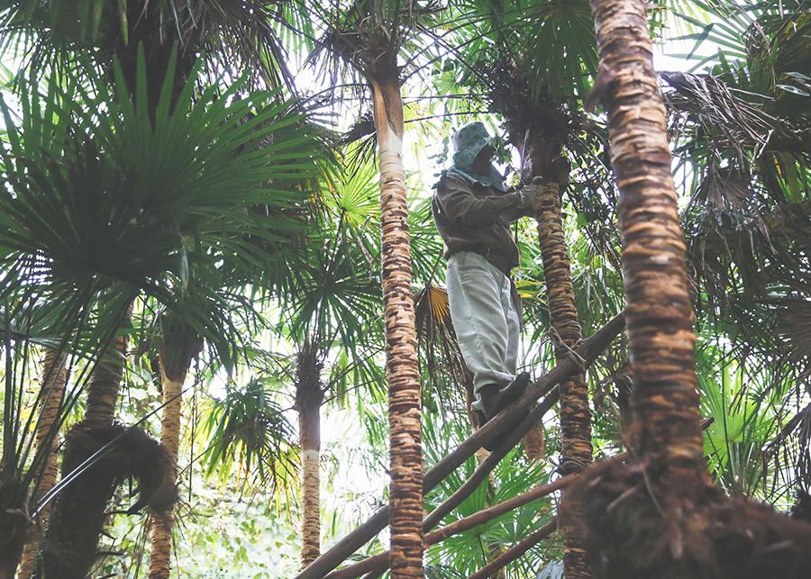 職人の手作業により一枚一枚丁寧に剥がされる。そして、棕櫚の木は、定期的に雑草・害虫の除去、葉や花の間引きなどの管理を行い、皮が新しく出来るまで待ち続ける。
