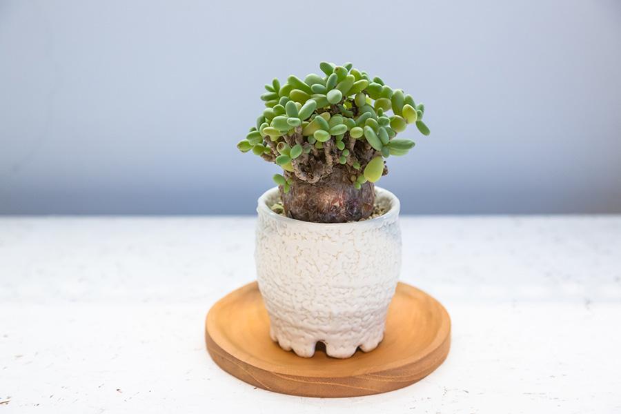 【Pot】陶芸家、中村拓哉さんによるハンドメイドポット。凹凸のあるクリーミィな表情と存在感のあるカタチで、いつまでも見飽きることがない魅力的な鉢。【Plants】塊根植物、ケラリアピグマエア(Ceraria pygmaea)。塊根の上部からぷっくりとした淡い緑色の葉が芽吹く。このような樹形に育てるのには時間と根気・忍耐が必要。涼しい時期に成長する冬型植物