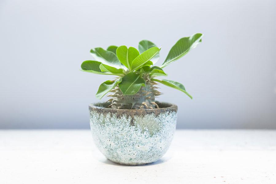 【Pot】陶芸の世界で最も難しいと言われる急須を得意としている陶芸家、大原光一さんの作品。釉薬の奥の深い世界観を楽しめる。 【Plants】恵比寿笑いと呼ばれるパキポディウム・ブレビカウレ(Pachypodium brevicaule)は、ぷっくりとした幹が特徴。水のやりすぎに注意。