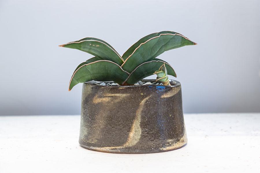 【Pot】陶芸家の伊藤丈浩さんの作品。【Plants】子株が出てきて元気よく成長する様子が観察できるのも植物栽培の楽しさのひとつ。サンスベリアの中でもコンパクトで詰まった葉が人気のエレンベルギー・バナナ(Sansevieria ehrenbergii banana)。