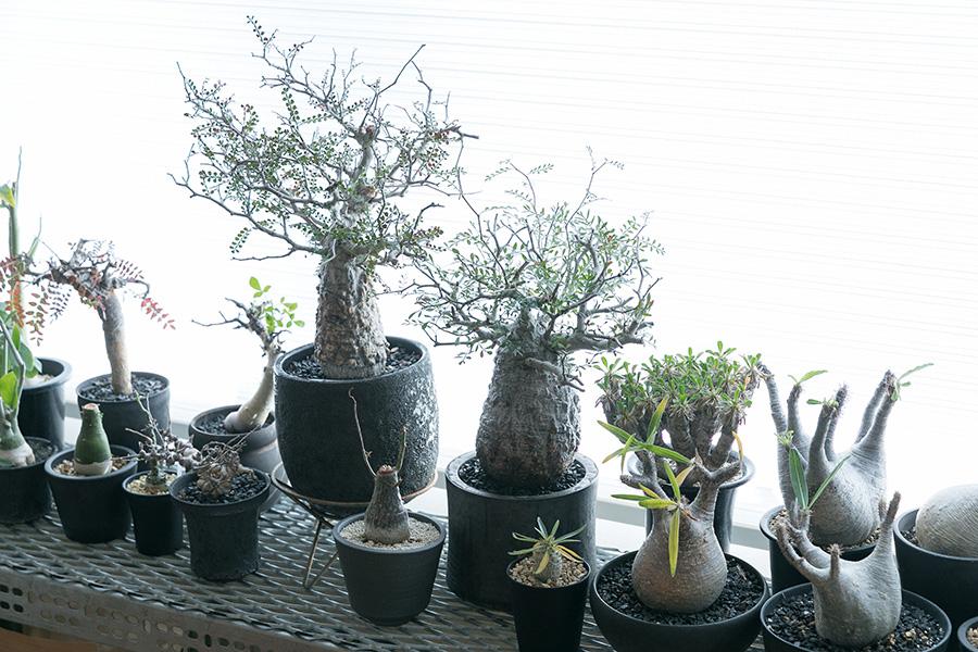 ビザール・プランツ(珍奇植物)にはイベントや仕入れを担当したことがきっかけでかなりハマってしまったそう。「先日、夏型の根塊植物を取り込み、冬型をベランダに出しました。鉢の数が増えたので、台風前などは家の中に植物を退避させる作業で大忙しです(笑)」