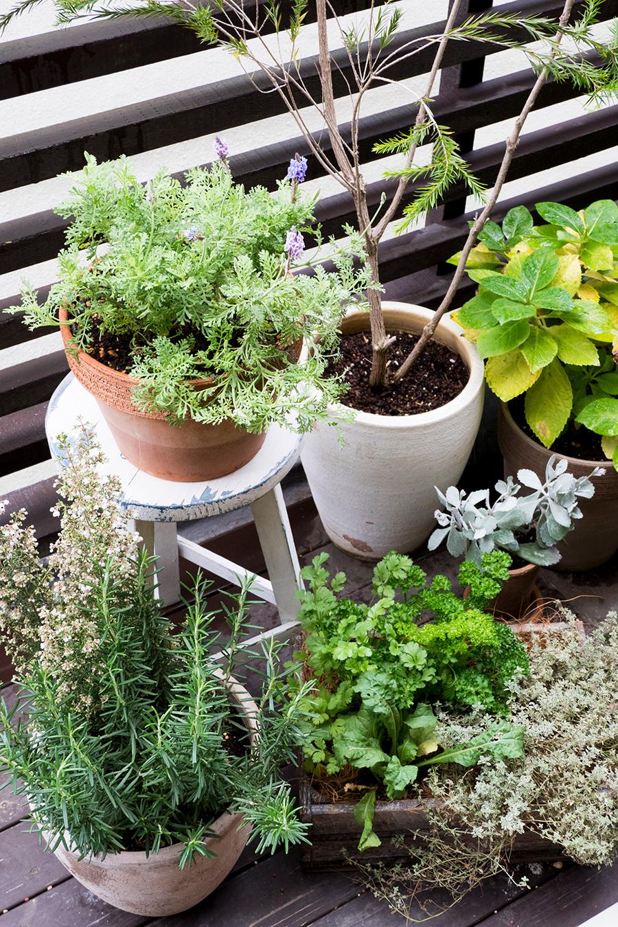 井出さんのお宅のベランダでは、ローズマリー、パセリ、タイム、ロケット、キンカンなど、ハーブ類や常緑の植物がたくさん育つ。