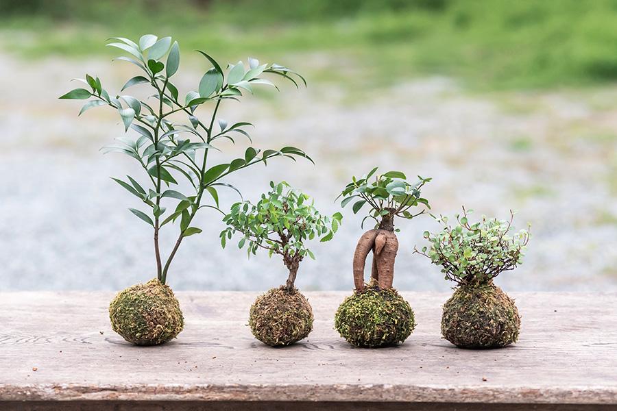 海外でも注目の苔玉。季節の植物で和風にアレンジしたり、ガジュマルなどで南国風にしたりと、色々楽しめる。