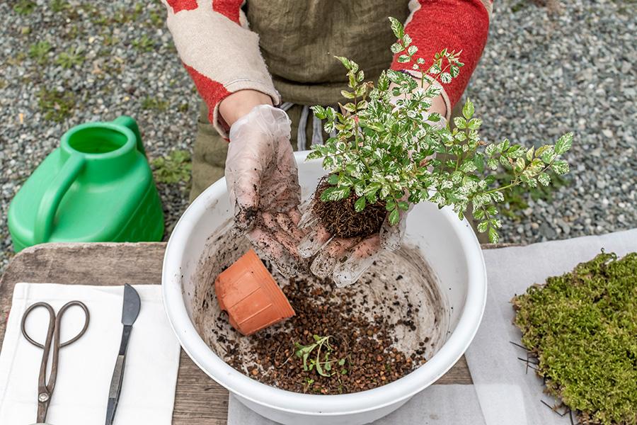 ④アレンジしたい苗を器から取り出して、まわりの古い土を取る。
