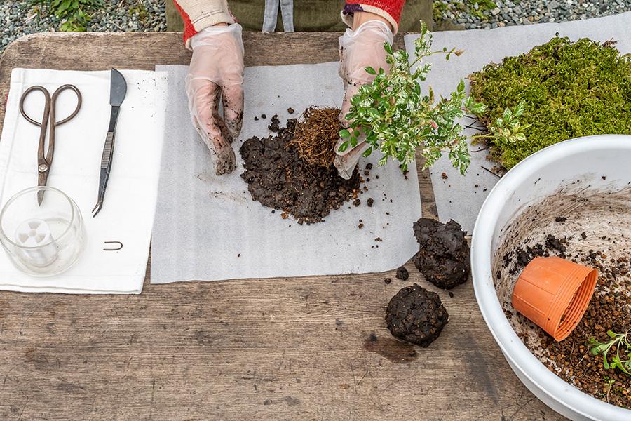 ⑤ウレタンシートの上に、③を苗よりひとまわり大きいサイズに広げ、その上に苗を載せる。