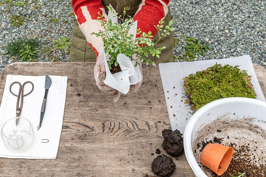 ⑥シートの下から手で包み込み、苗のまわりに土をつけるようにする。