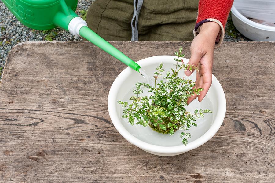 洗面器などに水を張り、苔全体を15〜30分程つけておく。春〜夏は毎日行おう。