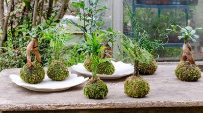 苔玉づくりに挑戦  水々しさと愛らしさ 癒しのグリーンをインテリアに