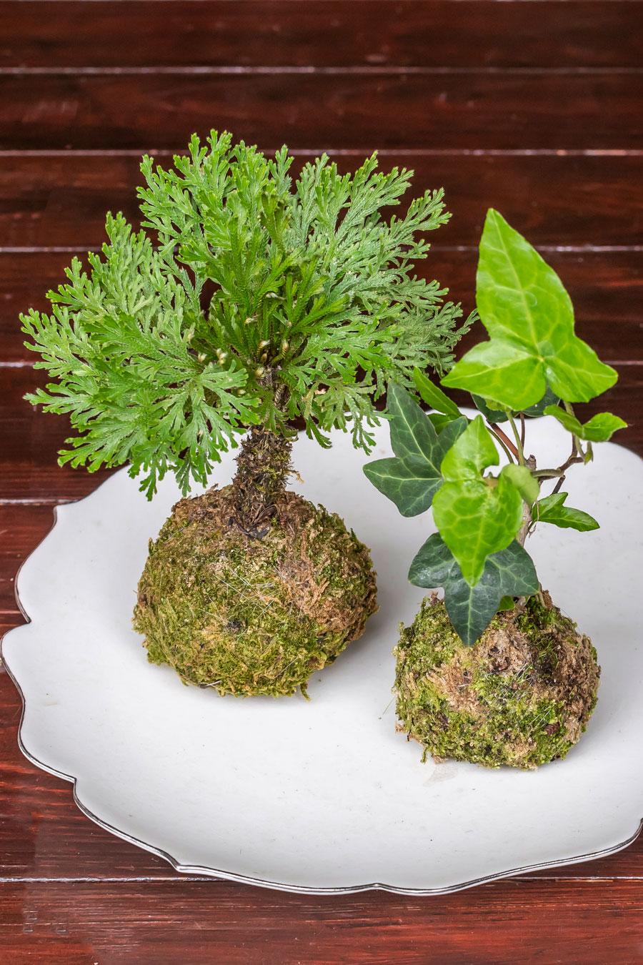 シダ植物のイワヒバ(左)に、観葉植物ヘデラ(右)。