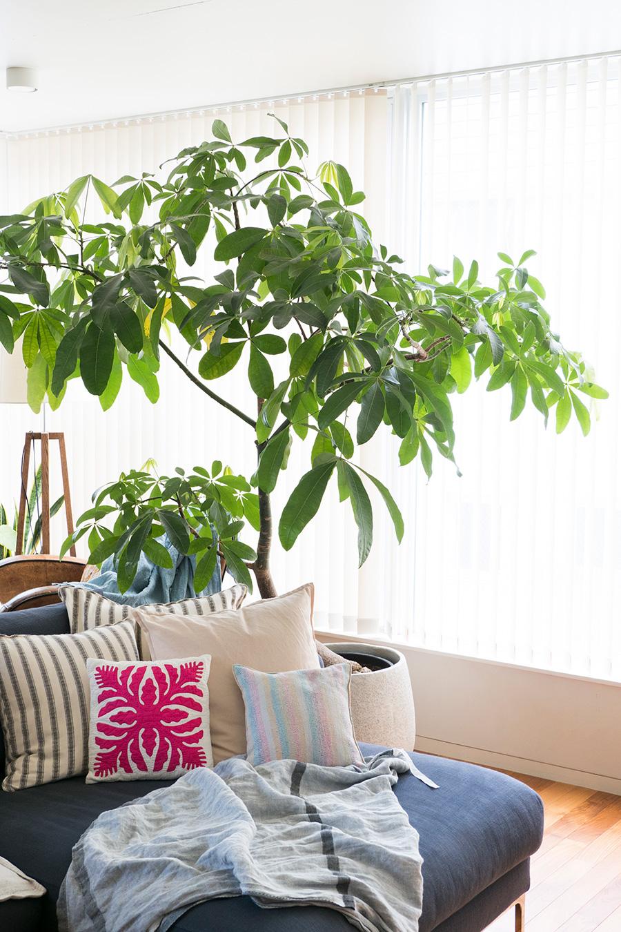 みつま邸のシンボルツリー、パキラ。「グリーンを楽しむこともできるし、パーテーションとしても役立ってくれます」。