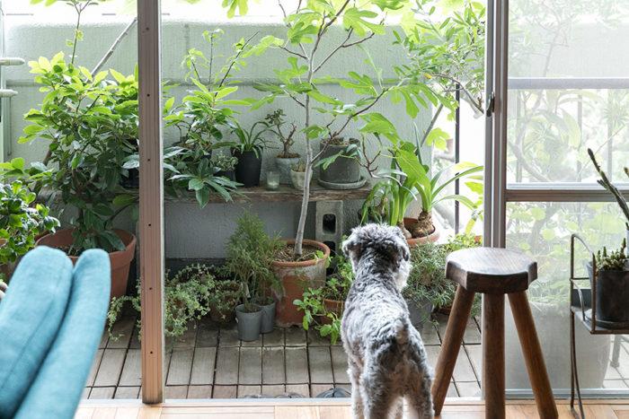 ストックくんが見守るベランダには、イチジクやハーブなど、食べることができる植物も多いのだとか。