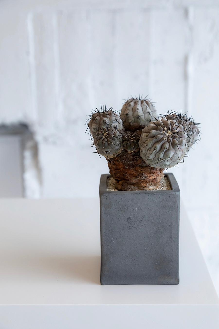 紫肌黒王丸(むらさきはだこくおうまる)  ¥100,000 ほんのりと紫がかった美しい植物。 木化した個体は、骨董品のような味わいになるのも魅力のひとつ。 植物の美しさを際立たせるために選ばれた鉢は、無味無臭のプロダクト。