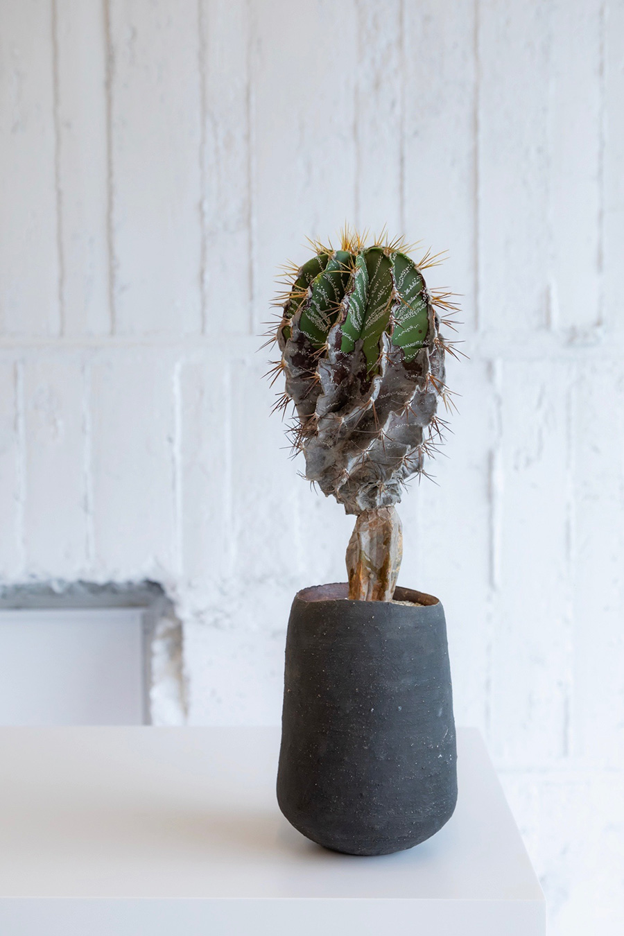 螺旋般若 (らせんはんにゃ)  ¥28,000 鉢は広島の陶芸家佐々木りつ子さん。女性らしい柔らかな器と力強い植物とのバランスが秀逸。